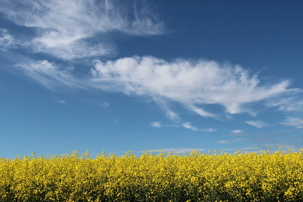 Lakestyle - blue sky and canola fields